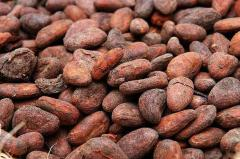 Dried cocoa bean seed