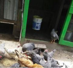 Poultry birds, Edo