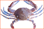Atlantic Swim Crab