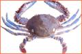 Atlantic Swim Crab